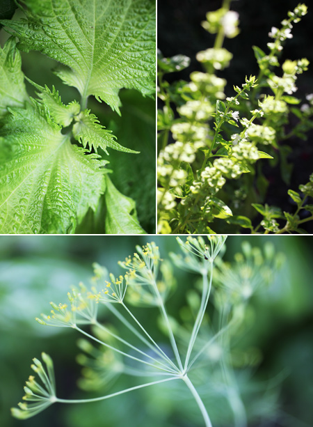 shiso plant; basil blossoms; dill flowers